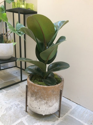 ficus elastica in pot PTMD